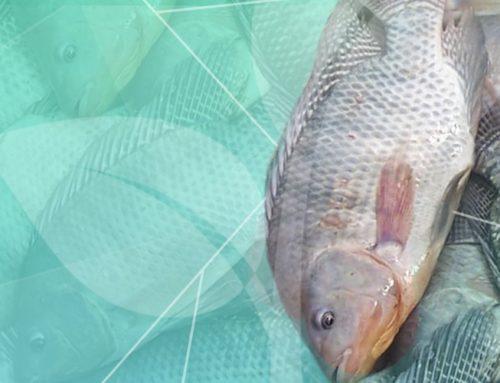 Desafios tecnológicos da piscicultura catarinense